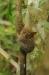 3-tarsiers29